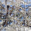 Cherry tree blossom over sky — Stock Photo