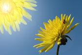 Pair dahlias and ladybird — Stock Photo