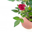 Stock Photo: Red small groth rose with water drops on white.