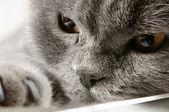 Closeup photo of a quiet British cat — Stock Photo