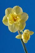 Narciso — Foto de Stock