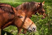 Shire horse — Photo