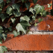 Stock Photo: Ivy on Wall