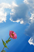 Flower Zinnia and sky — Stock Photo