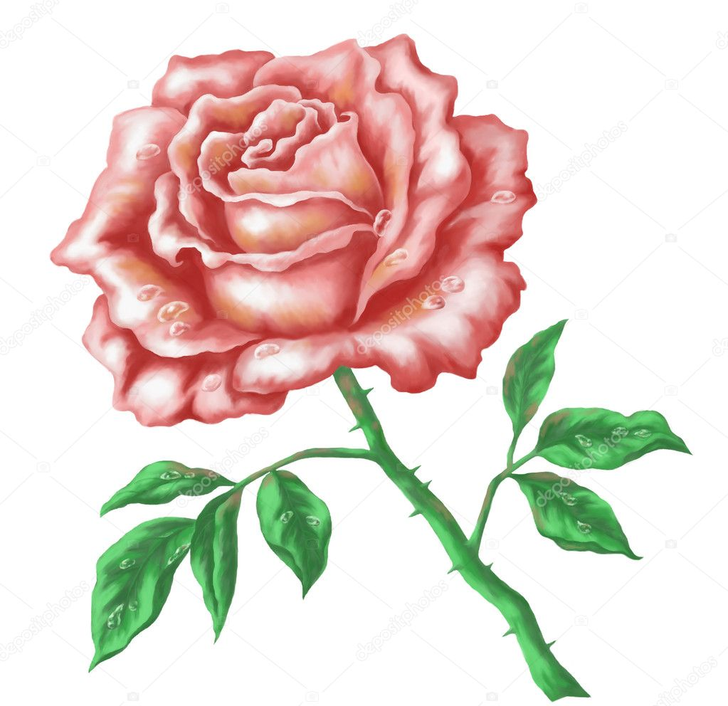 Flower rose. Picture, acrylic, hand-draw painting, isolated on white ...