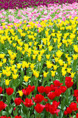 Colorful flower field of tulip — Stock Photo