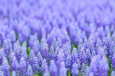 Flower, muscari botryoides — Stock Photo