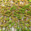 Green leaves wall — Stock Photo #10235159