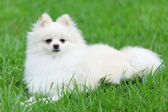 White pomeranian dog — Foto de Stock