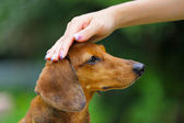 Obedience dog — Stock Photo
