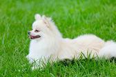 Witte pommeren hond — Stockfoto