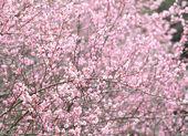 Fiore fiore di susina — Foto Stock