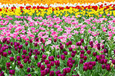 Tulips flower field — Stock Photo