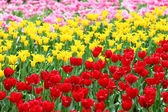 Tulips flower field — Stock Photo