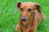 Cão de bassê — Fotografia Stock