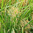 Paddy Rice — Stock Photo #8077583