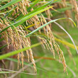 Paddy Rice — Stock Photo #8077733