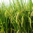 Paddy Rice — Stock Photo #8232167