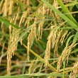 Ripe paddy rice — Stock Photo