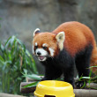 Red panda — Stock Photo #8232277