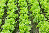 Lettuce seedlings in field — Stock Photo