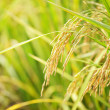 Paddy rice — Stock Photo #8265282