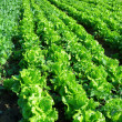 Lettuce plant in field - Foto Stock