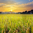 Royalty-Free Stock Photo: Paddy field with sunset