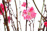 Cherry blossoms for chinese new year — Stock Photo