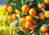 Chinese kumquat for chinese new year — Stock Photo