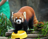 Red panda — Stock fotografie