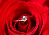 Rose con anello — Foto Stock