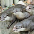 Oriental Short-Clawed Otters — Stock Photo #9178691