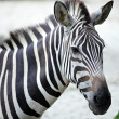 Zebra — Stock Photo #9178737