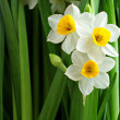 Narcissus flowers — Stock Photo #9179076
