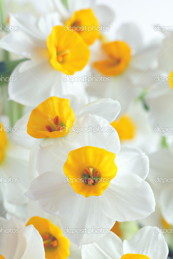 Narcissus flowers — Stock Photo #9179069