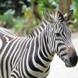 The Zebra - Stock Photo