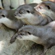 Oriental Short Clawed Otters — Stock Photo #9298119