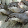 Stock Photo: Oriental Short Clawed Otters