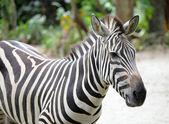 The Zebra — Stock Photo
