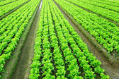 Lettuce plant in field — Stock Photo