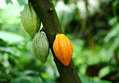 Cocoa pods — Stock Photo