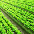 Rows of freshly planted lettuce — Stock Photo