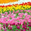 Tulip in flower field — Stock Photo