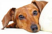 Dachshund dog at home on sofa — Stock Photo