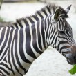 Zebra — Stock Photo #9800274