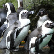 Penguins — Stock Photo #9800305