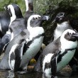 pinguins — Foto Stock #9800305