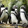 pinguins — Foto Stock