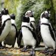 tučňáci — Stock fotografie